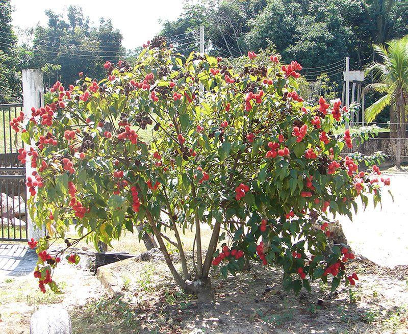 بذر درخت رژ لب