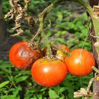 آنتراکنوز گوجه فرنگی