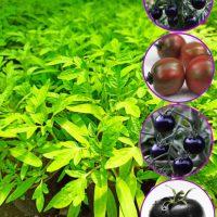 نشا گوجه فرنگیهای مشکی