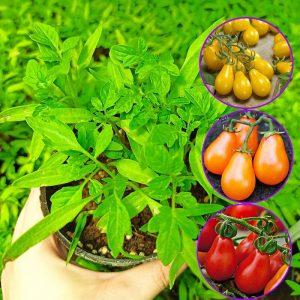 نشا گوجه گلابی