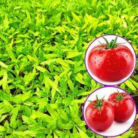نشا گوجه فرنگی گرد