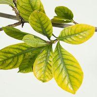 کمبود سه عنصر اصلی در درختان میوه