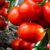 مشکل گوجه فرنگی