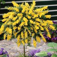 بذر درخت گل طاووسی