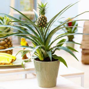 نهال آناناس کوموسوس