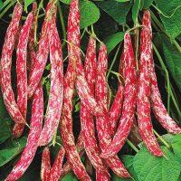 بذر لوبیا چیتی