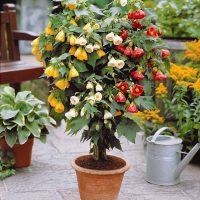 بذر گل ابوتیلون
