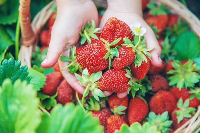 بذر توت فرنگی سابرینا