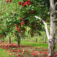 عدم باردهی درختان میوه