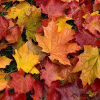 برگ های ریخته شده در پاییز